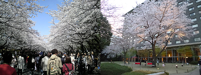 311以降やっと咲いた上野の桜